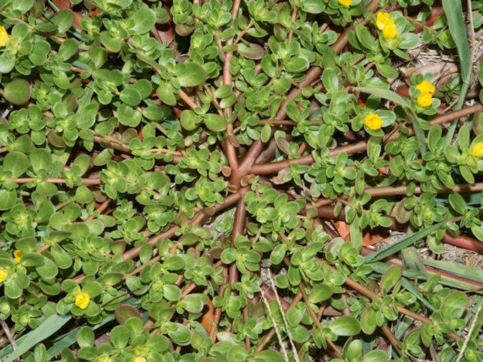 Succulent Herbs: Portulaca oleracea