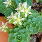 Rhodiola pachyclados (Gray Stonecrop) aka Sedum pachyclados