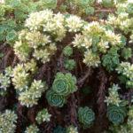 Rhodiola pachyclados - Gray Stonecrop