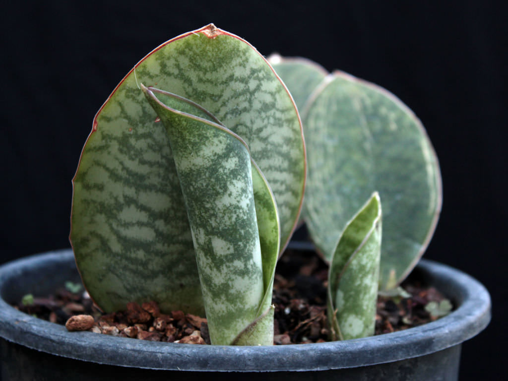 Sansevieria Masoniana Mason S Congo World Of Succulents