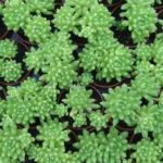 Sedum hirsutum (Hairy Stonecrop)