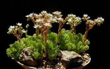 Sedum hirsutum - Hairy Stonecrop