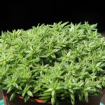 Sedum lineare (Needle Stonecrop)