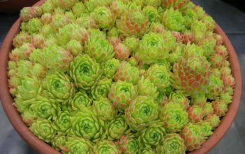 Sempervivum atlanticum - Hen and Chicks