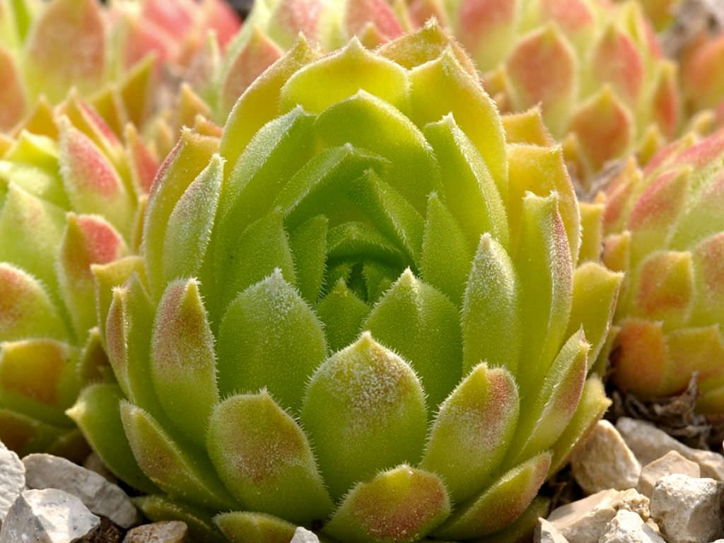 Sempervivum Atlanticum Hen And Chicks World Of Succulents