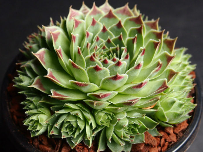 Sempervivum Calcareum Sir William Lawrence Hen And