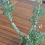 Senecio articulatus - Candle Plant, Hot Dog Cactus
