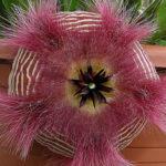 Stapelia hirsuta (African Starfish Flowers)