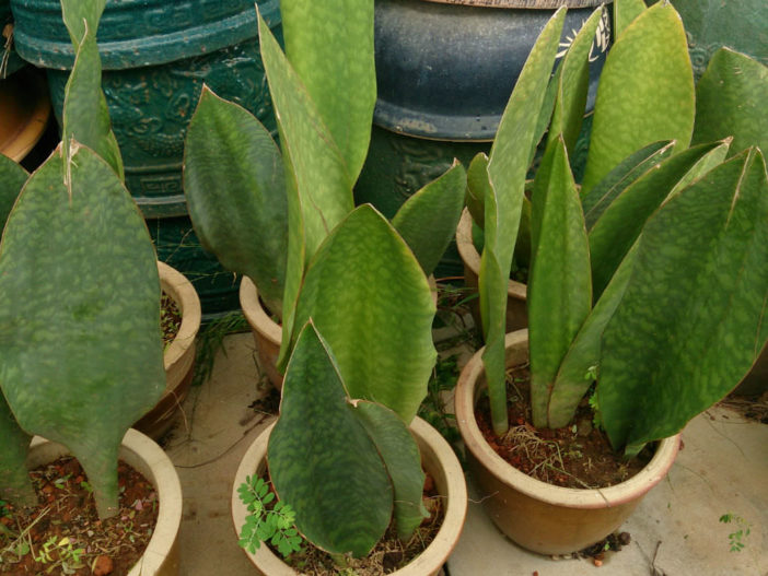 Succulents for Low Light Environments (Sansevieria masoniana)