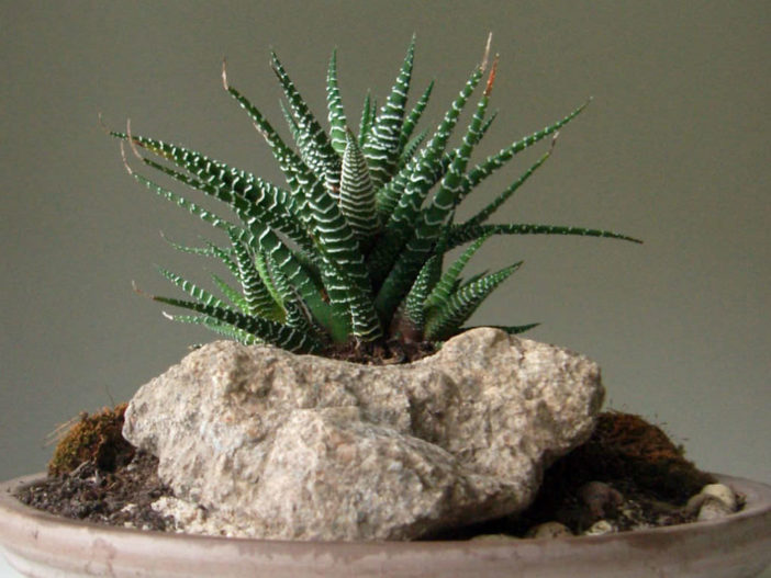 Succulents for Low Light Environments (Haworthia fasciata)