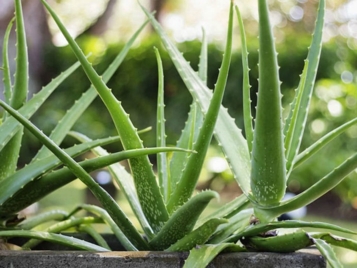 Succulents for Low Light Environments (Aloe vera)