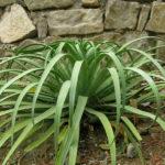 Agave bracteosa (Candelabrum Agave)