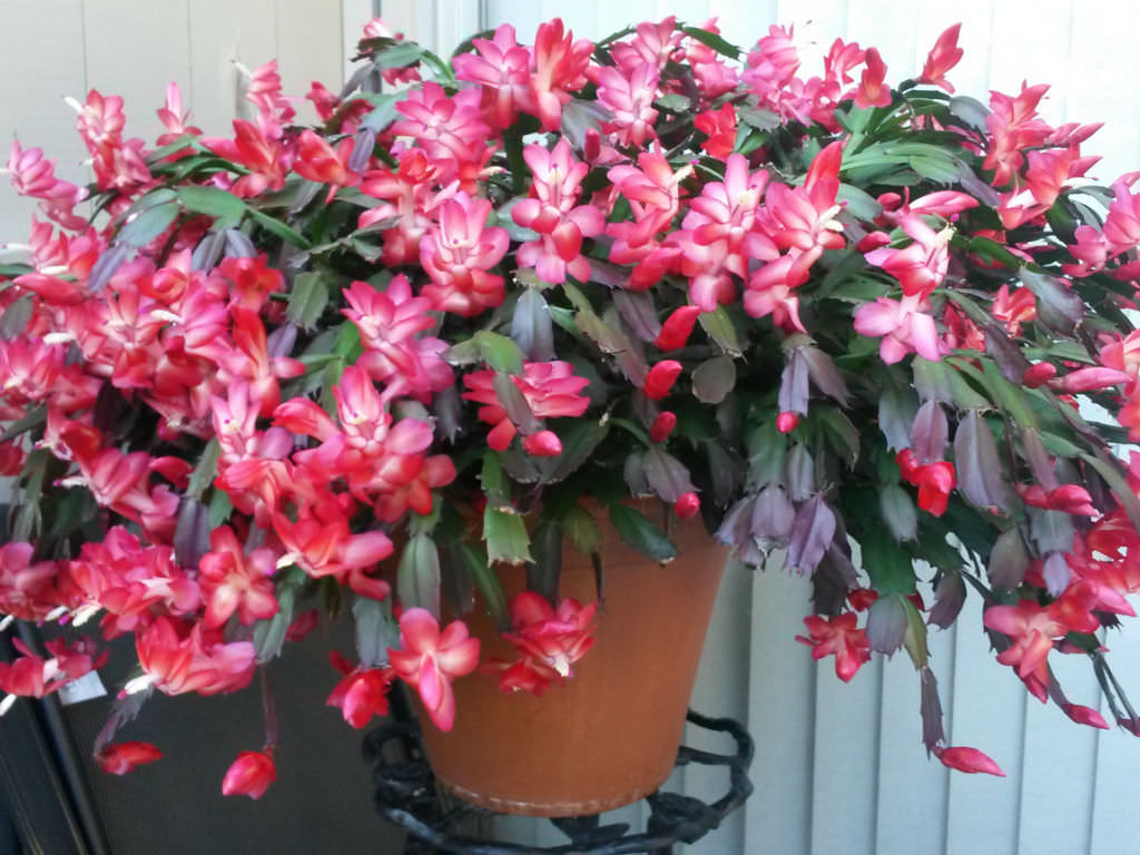 Christmas Cactus Confusion | World of Succulents