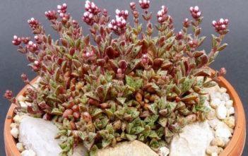 Crassula exilis subsp. cooperi