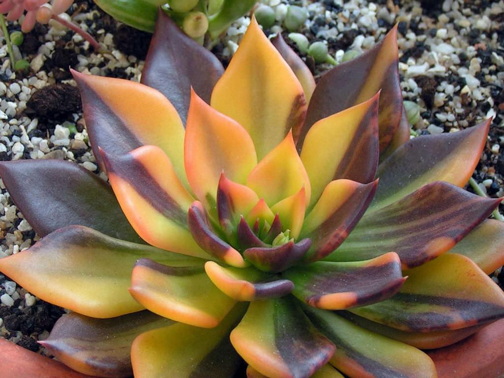 Echeveria Bess Bates World Of Succulents