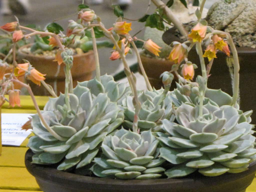 Medium Succulent Plant Echeveria Lola A beautiful study in shades of pale lavender.