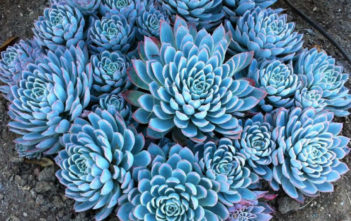 Echeveria 'Violet Queen' - Violet Queen Hens and Chicks