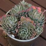 Echeveria 'Violet Queen' (Violet Queen Hens and Chicks)