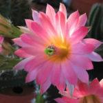 Echinocereus scheeri subsp. gentryi