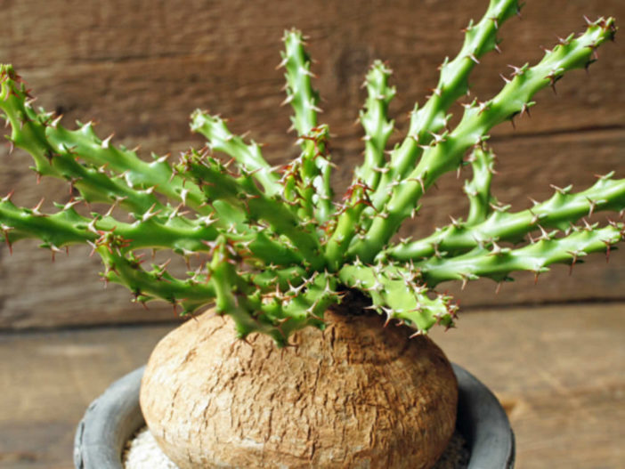 Euphorbia decidua