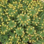 Euphorbia susannae (Suzanne's Spurge)