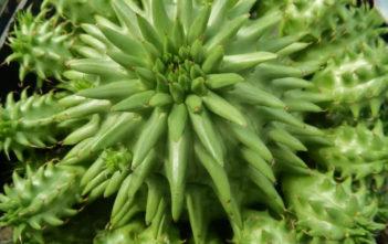 Euphorbia susannae - Suzanne's Spurge