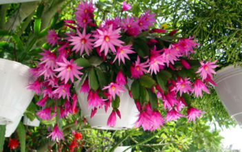 Hatiora x graeseri (Easter Cactus)