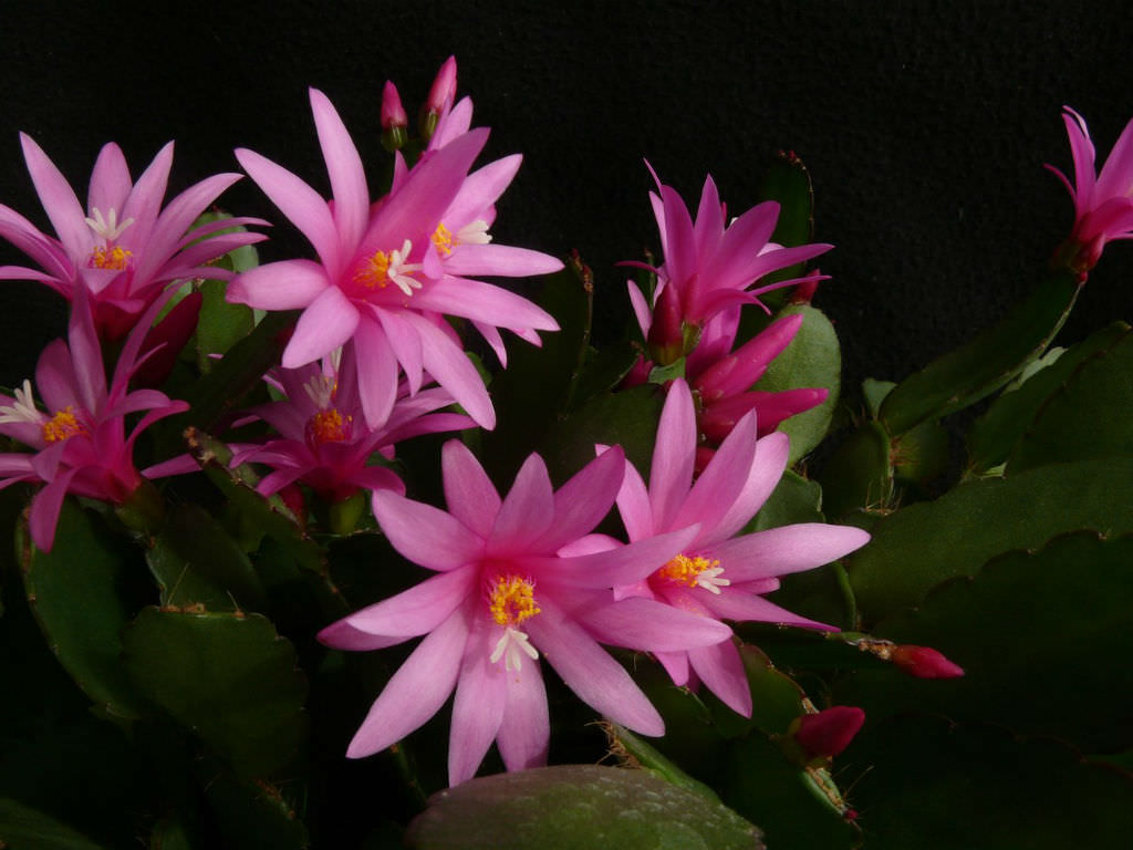 Hatiora X Graeseri Easter Cactus World Of Succulents