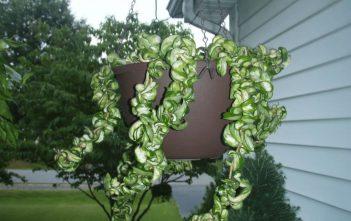 Hoya compacta 'Regalis' (Variegated Hindu Rope)