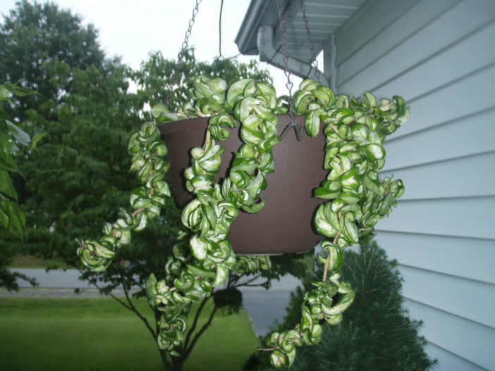 Hoya compacta 'Regalis' - Variegated Hindu Rope Plant