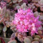 Hylotelephium pluricaule aka Sedum pluricaule