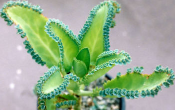 Kalanchoe laetivirens (Mother of Thousands)
