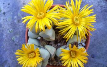 Lapidaria margaretae - Karoo Rose
