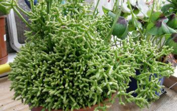 Rhipsalis cereuscula - Coral Cactus