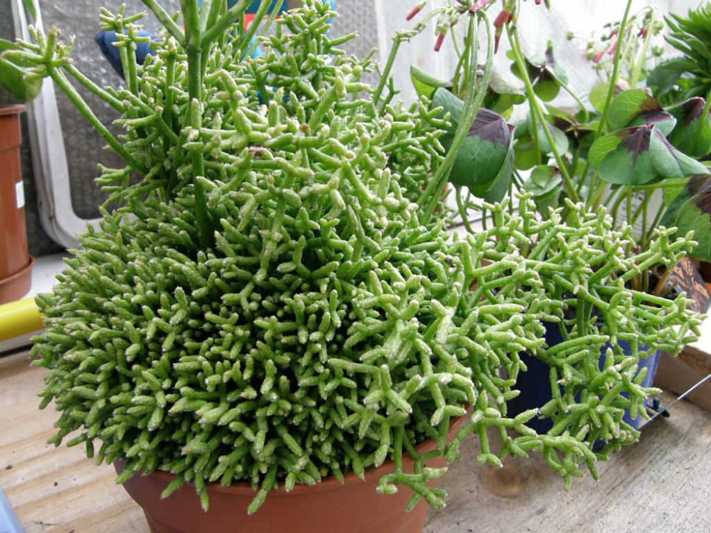 Small House Plants Rhipsalis Cereuscula Coral Cactus World Of Succulents
