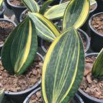 Sansevieria masoniana f. variegata (Mason's Congo)