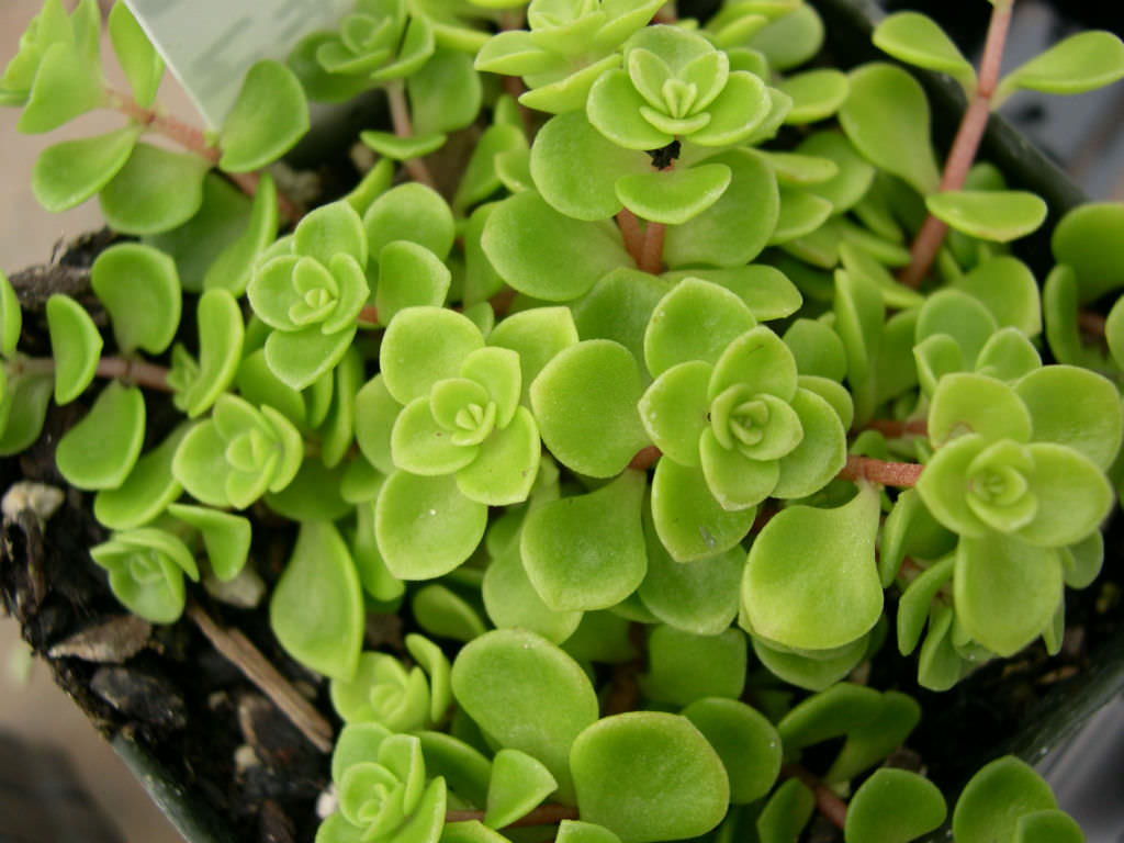 Sedum makinoi | World of Succulents