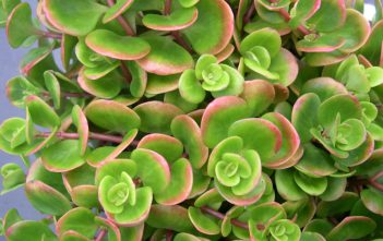 Sedum tetractinum (Chinese Sedum)