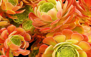 Aeonium 'Blushing Beauty' - Blushing Aeonium