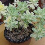Aeonium castello-paivae 'Variegata' aka Aeonium 'Suncup'
