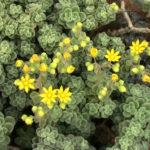 Aichryson tortuosum var. bethencourtianum