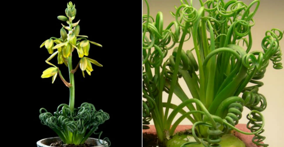 albuca spiralis 39 frizzle sizzle 39 world of succulents. Black Bedroom Furniture Sets. Home Design Ideas