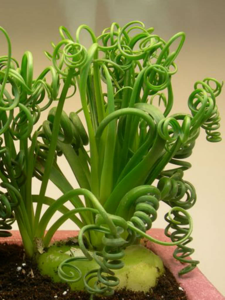Albuca Spiralis Frizzle Sizzle World Of Succulents