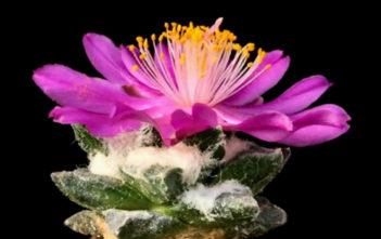 Ariocarpus scaphirostris - Living Rock Cactus