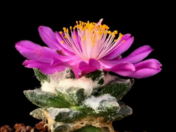 Ariocarpus scaphirostris (Living Rock Cactus)