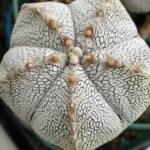 Astrophytum myriostigma 'Onzuka'