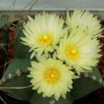 Astrophytum myriostigma var. nudum (Bishop's Cap)