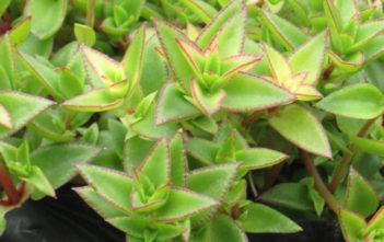 Crassula pellucida subsp. brachypetala