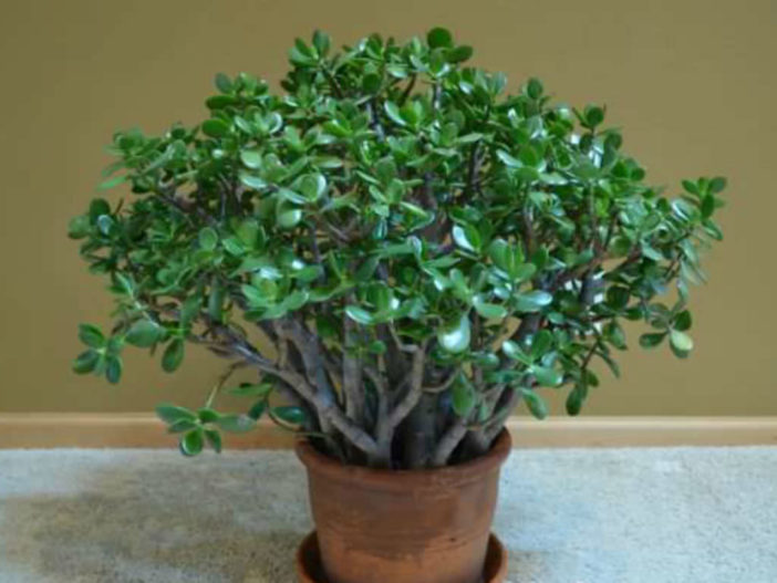 White Powdery Mold on the Jade Plant