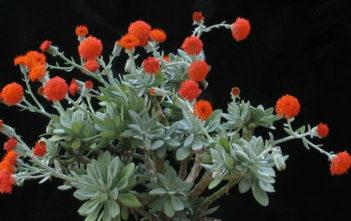 Kleinia galpinii (Senecio galpinii)